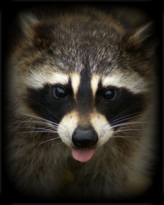 Racoon Eyes by patries71/Creative Commons